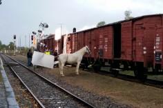Oswajanie konia z wagonem (foto Piotr Mróz)